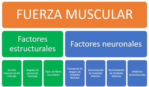 Factores que inciden sobre el desarrollo de la fuerza muscular