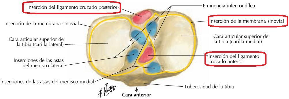 Inserciones de ligamentos cruzados