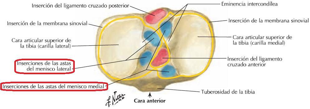 Inserciones de los meniscos