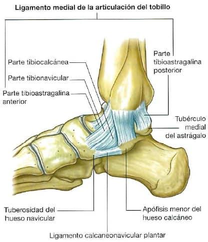 Ligamento deltoideo