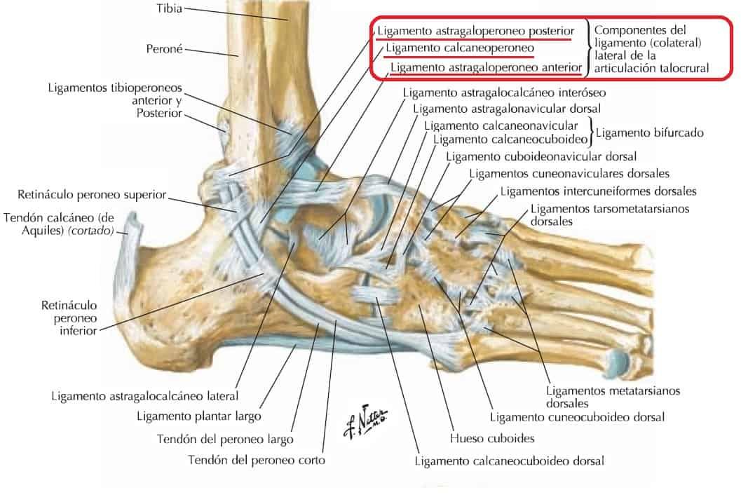 Ligamento lateral del tobillo