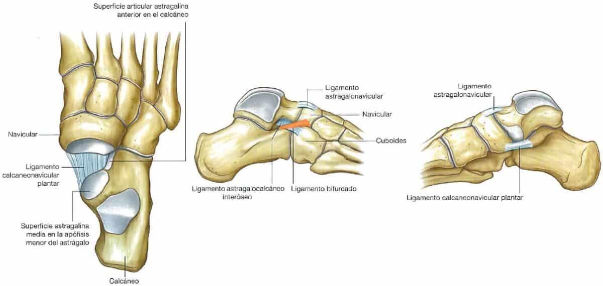 Ligamentos de la articulacion astragalocalcaneonavicular