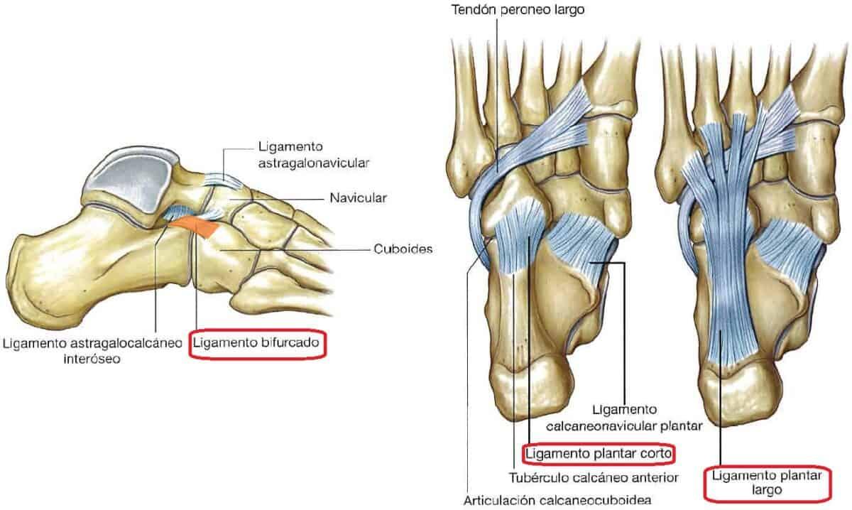 Ligamentos de la articulacion calcaneocuboidea