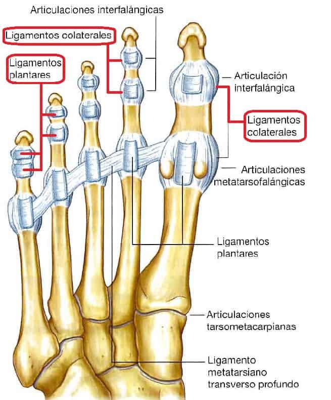 Ligamentos de las articulaciones interfalangicas