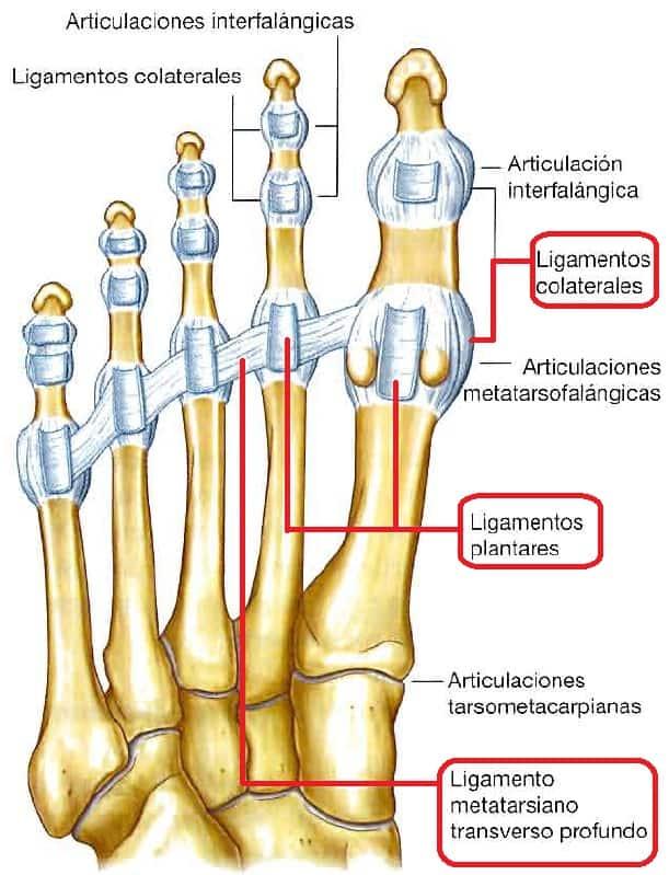 Ligamentos de las articulaciones metatarsofalangicas